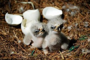 cute_baby_eagles_18