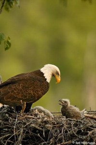 cute_baby_eagles_23