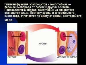 Glavnaja-funktsija-eritrotsitov-i-gemoglobina-perenos-kisloroda-