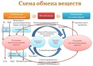 shema-obmena-veshestv